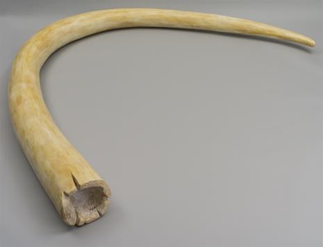 Joanna Malinowska, Kieł mamuta